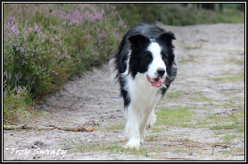 wegas border collie 32