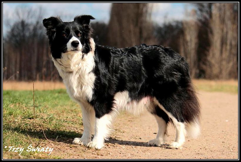 border  collie 980 ROZIs