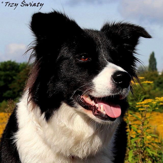 border collie Rozi 1