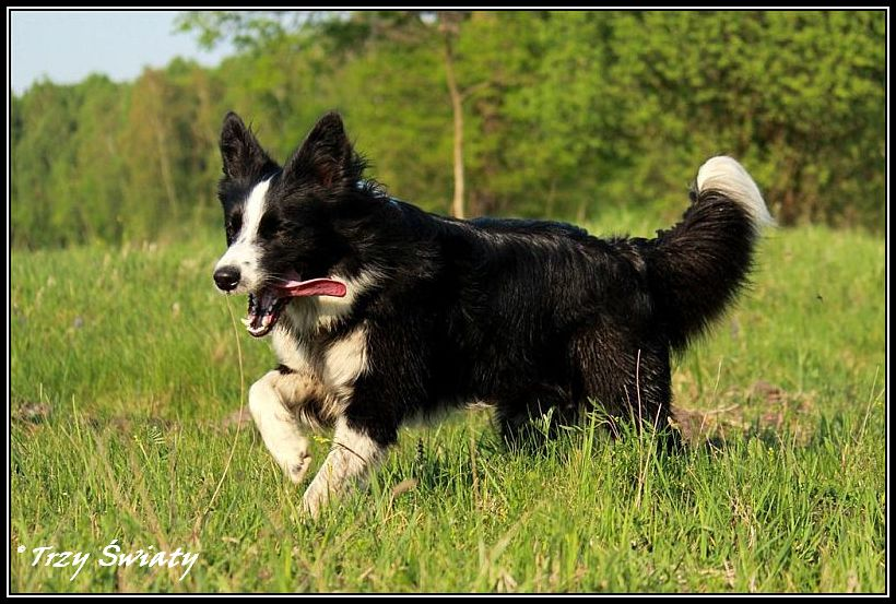 border collie Gaja3