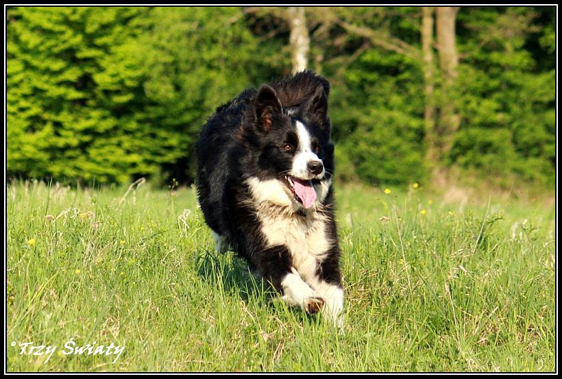 border collie Gaja4