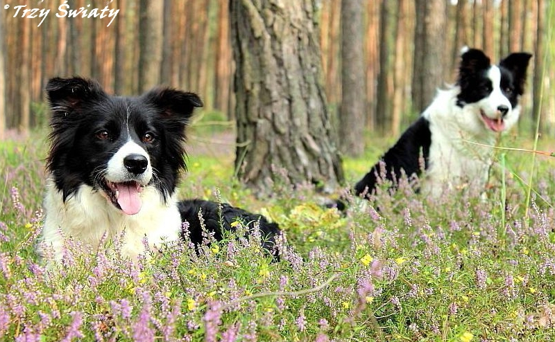 border collie slider 10